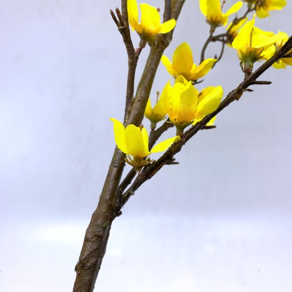 Cherry Blossom (Yellow) by Masons Home Decor